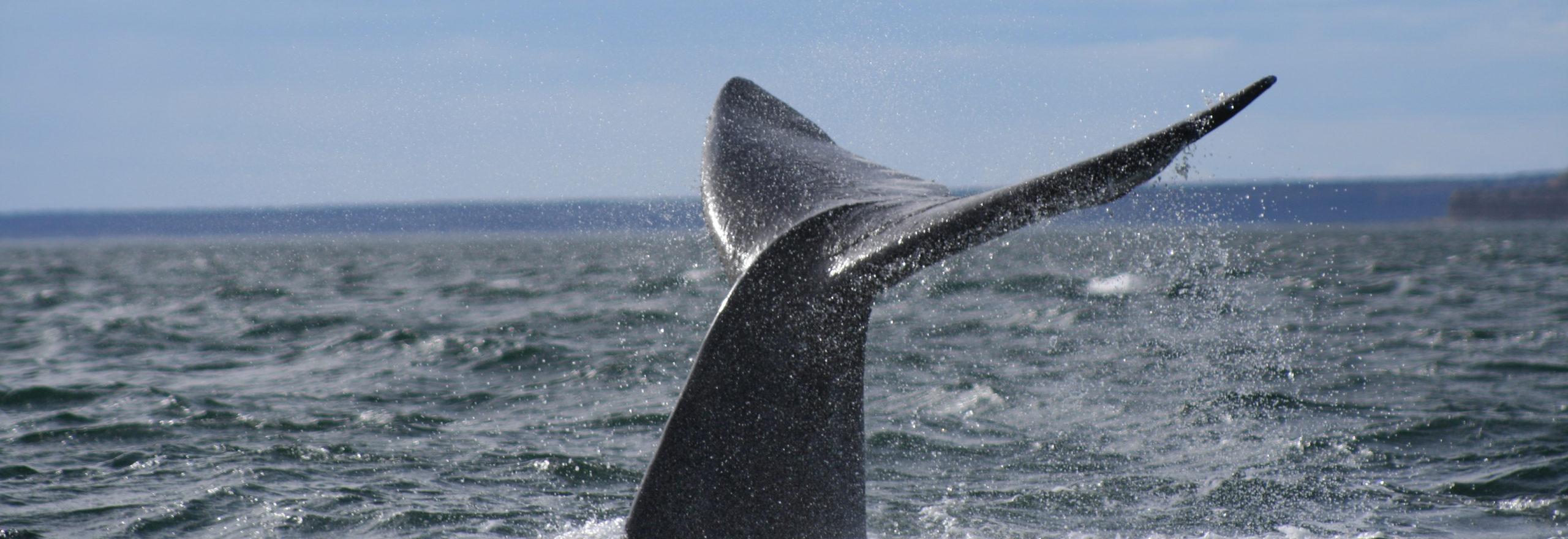 coda di balena franca