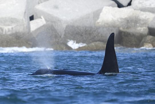 orca a Genova